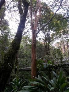 Pohon pelawan. Foto: SIlvia Galikano
