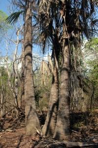 Pohon gebang yang pernah jadi sumber makanan pokok penduduk Pulau Komodo