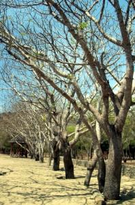 Pohon kedondo berjajar rapi di Loh Liang