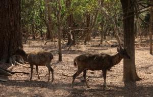 Rusa liar berkeliaran di Pulau Komodo